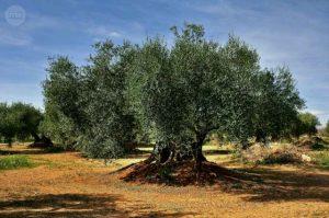 El plan de adopción que devuelve la vida a los olivos centenarios - y a un pueblo español